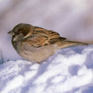 Male House Sparrow<br />Longwick, Princes Risborough