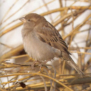 Female House Sparrow<br />Ashton-under-lyne