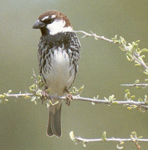 Male Eurasian Tree Sparrow