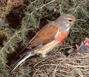 Adult Male Linnet<br />Sheffield