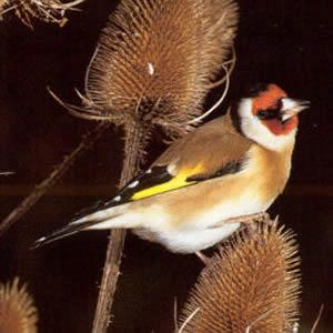 Adult European Goldfinch