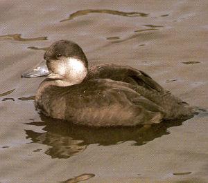 Female Black Scoter