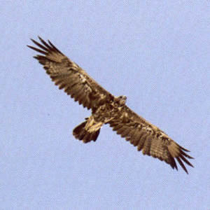 Juvenile Golden Eagle