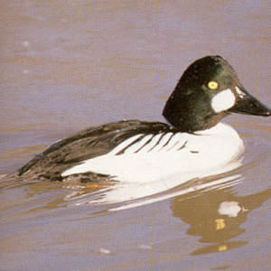 Adult Male Goldeneye<br />Inverness
