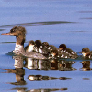 Female Adult Common Merganser