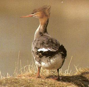 Female Adult Red-breasted Merganser