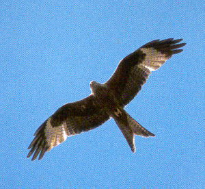 Adult Red Kite<br />Brecon