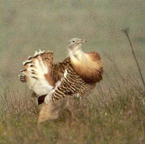 Male Great Bustard