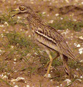 Male Eurasian Thick-knee