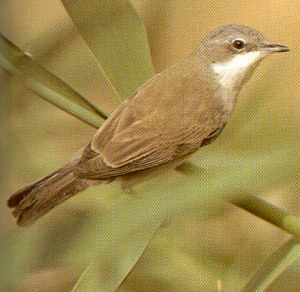 Lesser Whitethroat<br />Longwick, Princes Risborough