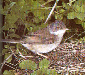 Male Common Whitethroat