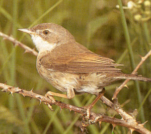 Female Greater Whitethroat