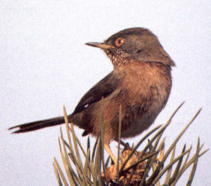 Male Dartford Warbler