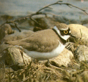 Male Adult Little Ringed Plover