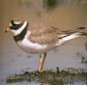 Adult Ringed Plover