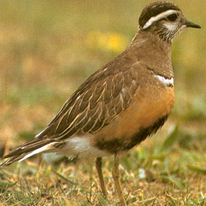 Male Eurasian Dotterel