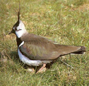 Adult Lapwing<br />Cuxton