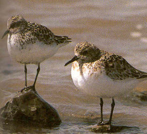 Adult Sanderling<br />West Mersea
