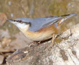 Nuthatch<br />Avilly St Leonard