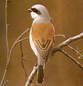 Male Adult Red-backed Shrike