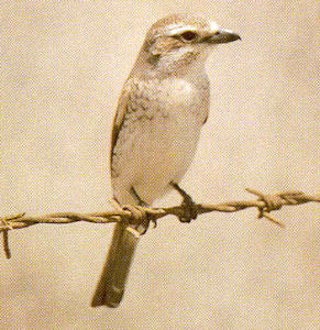 Female Adult Red-backed Shrike