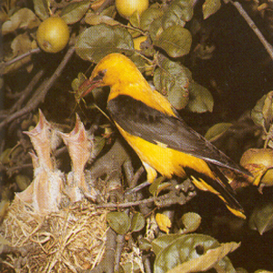 Male Eurasian Golden Oriole