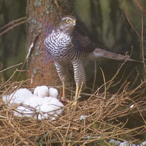 Female Adult Eurasian Sparrowhawk