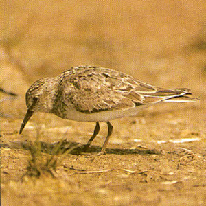 Adult Temminck's Stint