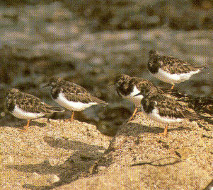 Adult Ruddy Turnstone
