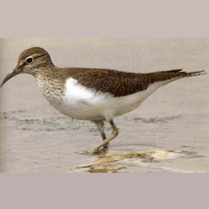 Adult Common Sandpiper