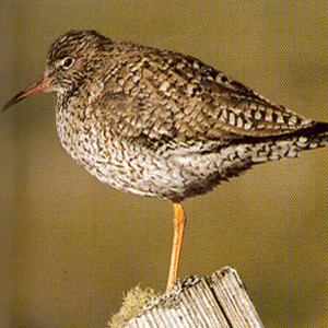 Common Redshank<br />Bramford Near Ipswich