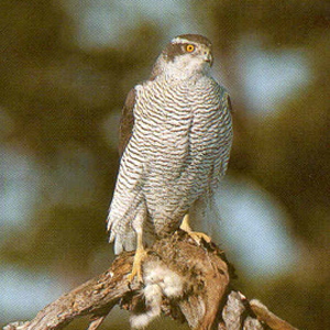 Female Adult Northern Goshawk