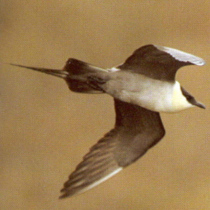 Adult Long-tailed Skua