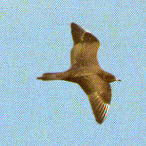 Juvenile Long-tailed Jaeger
