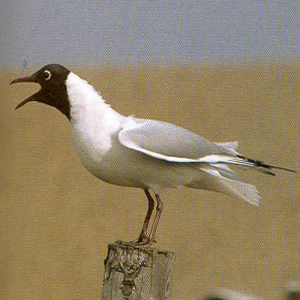 Adult Black-headed Gull