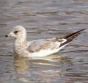 Juvenile Common Gull