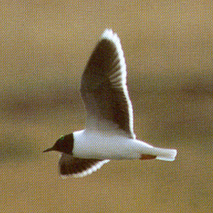 Adult Little Gull<br />Cerne Abbas