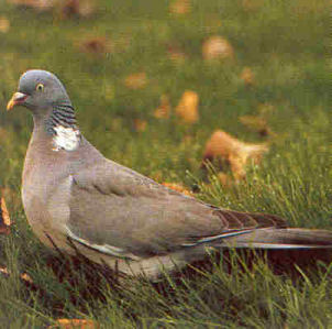 Adult Common Wood Pigeon