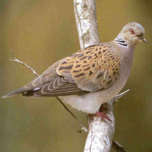 Adult European Turtle Dove