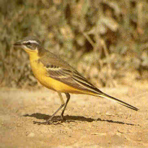 Adult Male Yellow Wagtail<br />Brecon
