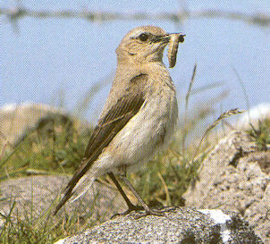 Female Adult Northern Wheatear