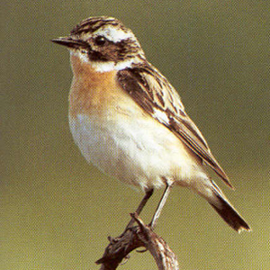Male Adult Whinchat
