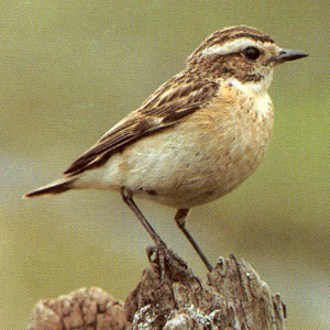 Adult Female Whinchat<br />Bethania