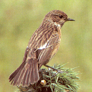 Female Adult Stonechat