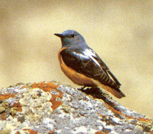 Male Adult Rufous-tailed Rock Thrush
