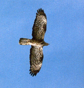 Female European Honey Buzzard