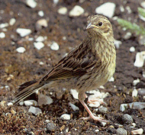 Juvenile Yellowhammer