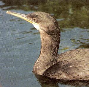 Juvenile Common Shag