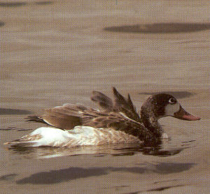 Juvenile Common Shelduck
