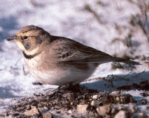 Female Shore Lark